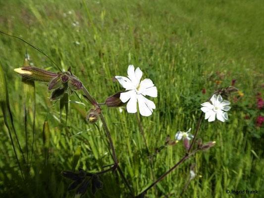 Silene latifolia - Weiße Licchtnelke, Weiße Nachtnelke