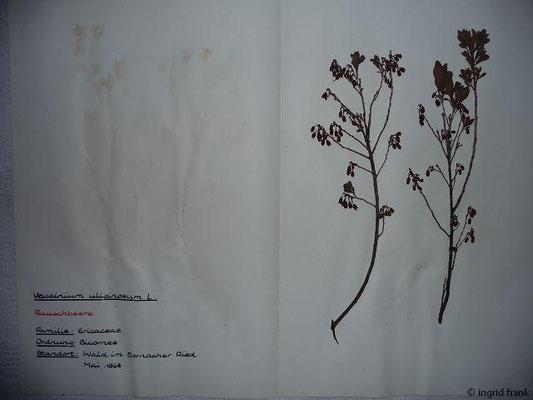 (80) Vaccinium uiginosum - Rauschbeere