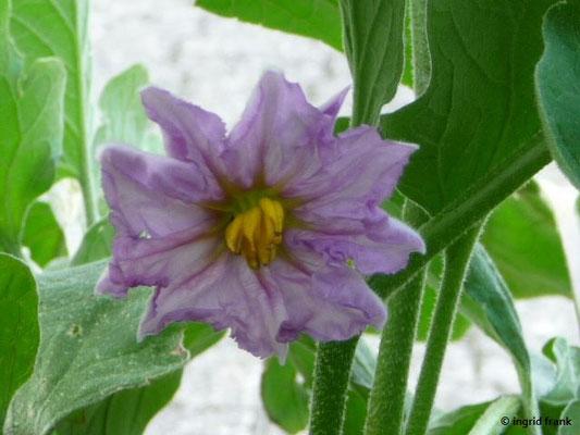 Solanum melongena - Aubergine    VI-VIII