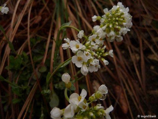 Noccaea montana - Berg-Täschelkraut