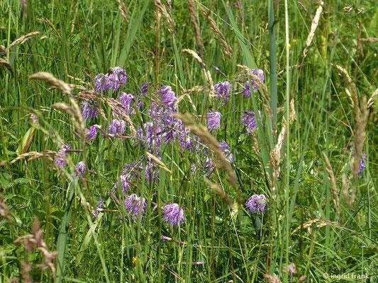 Dianthus superbus - Pracht-Nelke