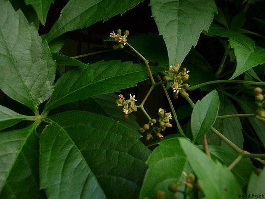18.07.2010-Parthenocissus quinquefolia - Selbstkletternde Jungfernrebe