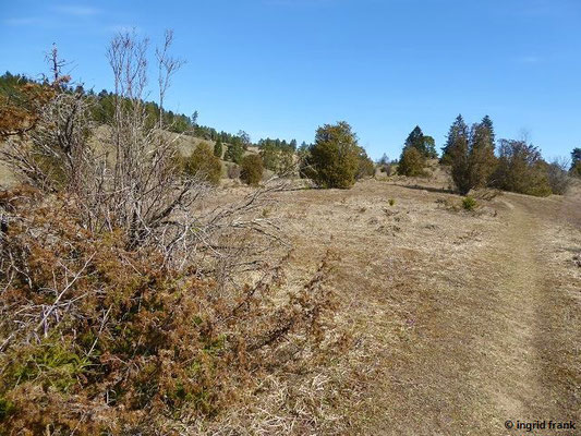 Pinus sylvestris -