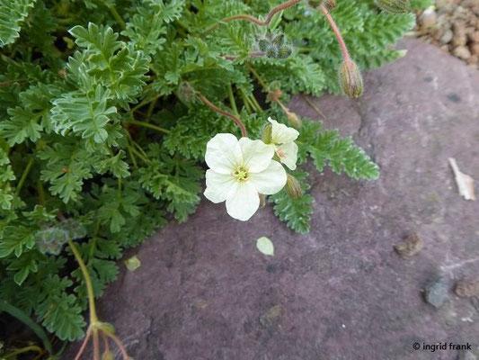 Erodium chrysanthum - Gelber Reiherschnabel (Griechenland)    VI-VIII