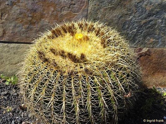 """Echinocactus grusonii - """"Schwiegermuttersessel"""" (in einem Privatgarten)"""