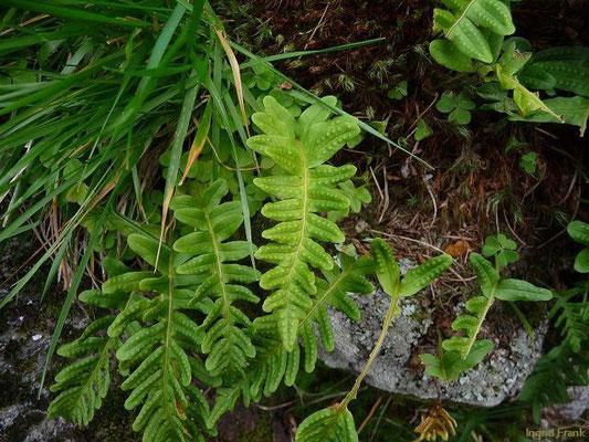 Polypodium vulgare - Gewöhnlicher Tüpfelfarn, Engelsüß