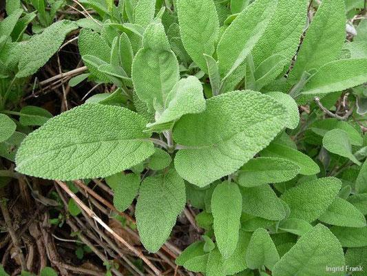 17.05.2010-Salvia officinalis - Salbei