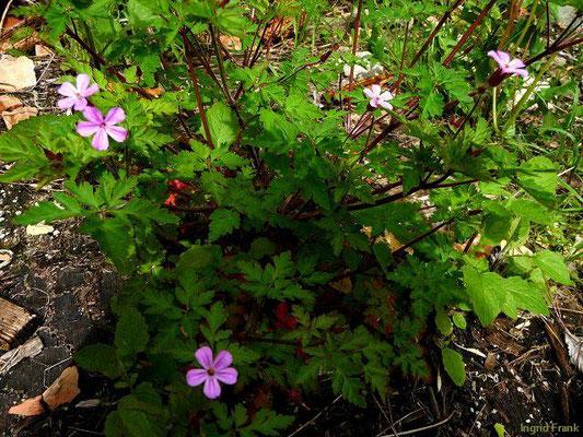 Geranium robertianum ssp. robertianum / Ruprechtskraut, Stinkender Storchschnabel