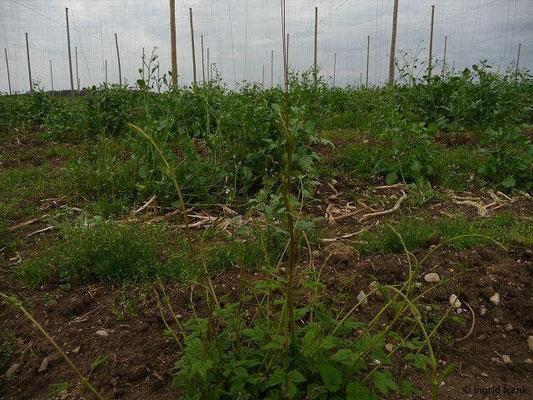 Humulus lupulus - Hopfen (Sprossen)