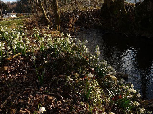 22.02.2014-Leucojum vernum (bei Madenreute) - Märzenbecher