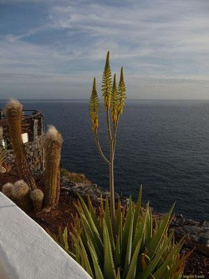 Aloe vera - Echte Aloe (La Gomera)