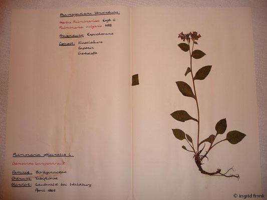 (95) Pulmonaria vulgaris - Gemeines Lungenkraut