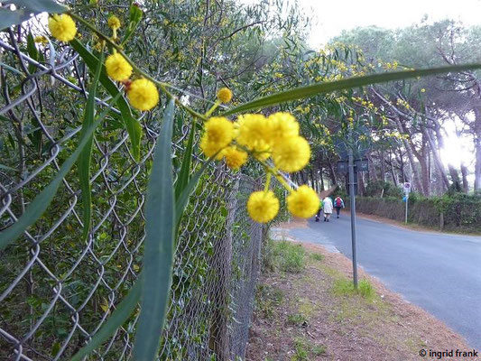 Acacia saligna - Weidenartige Akazie