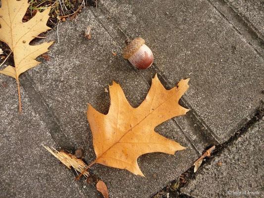 Rot-Eiche / Quercus rubra