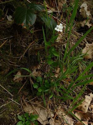 Arabidopsis halleri / Hallers Schmalwand