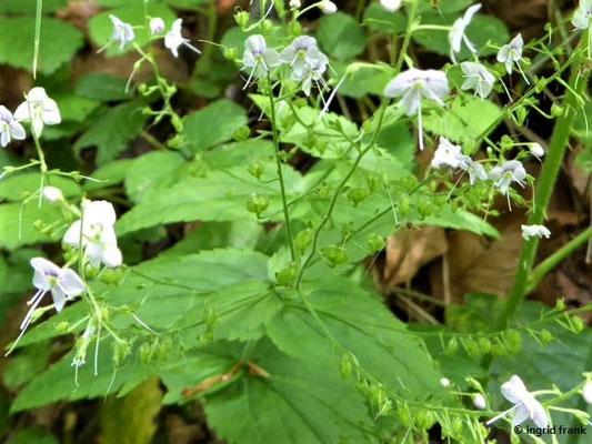 Veronica urticifolia - Nesselblättriger Ehrenpreis