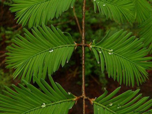 Metasequoia glyptostroboides - Urweltmammutbaum, Chinesisches Rotholz