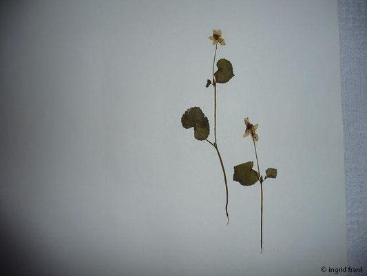 Viola biflora / Zweiblütiges Veilchen     V-VIII