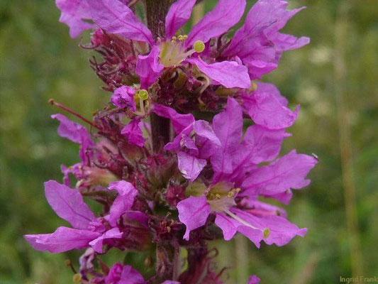21.07.2011-Lythrum salicaria - Gewöhnlicher Blutweiderich