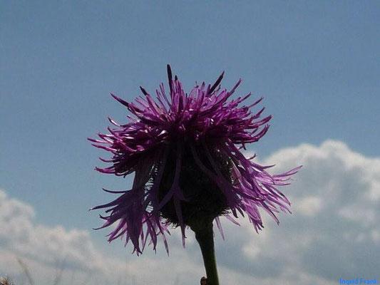 11.08.2013-Centaurea scabiosa - Gewöhnliche Skabiosen-Flockenblume