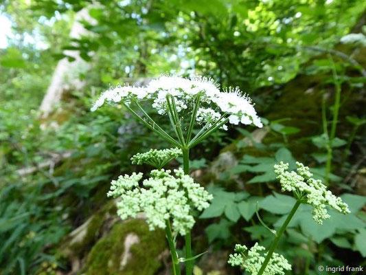 Aegopodium podagraria / Geißfuß, Giersch
