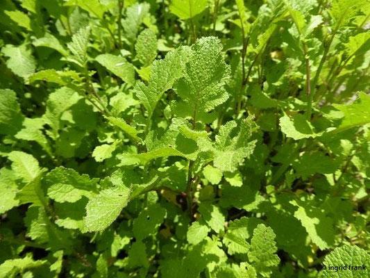 Brassica nigra - Schwarzer Senf    VI-IX