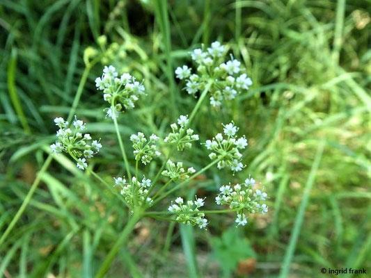 Pimpinella saxifraga - Kleine Pimpinelle