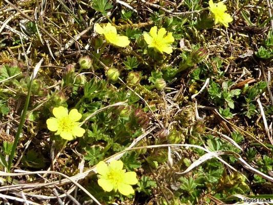 Potentilla neumanniana - Frühlings-Fingerkraut