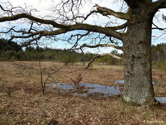 Blick durch eine Eiche über das Naturschutzgebiet Blauensee zur Waldburg