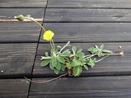 Pilosella officinarum / Kleines Habichtskraut