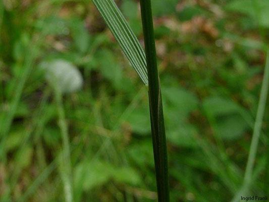 Deschampsia cespitosa / Rasen-Schmiele
