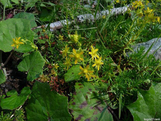 Saxifraga aizoides - Fetthennen-Steinbrech, Bach-Steinbrech