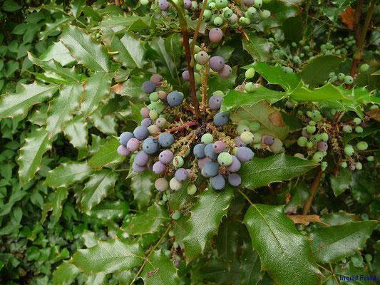 BEEREN SCHWACH GIFTIG:   Mahonie / Mahonia aquifolium   (20.06.2012)