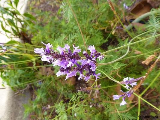 Lavandula minutolii - Minutol-Lavendel