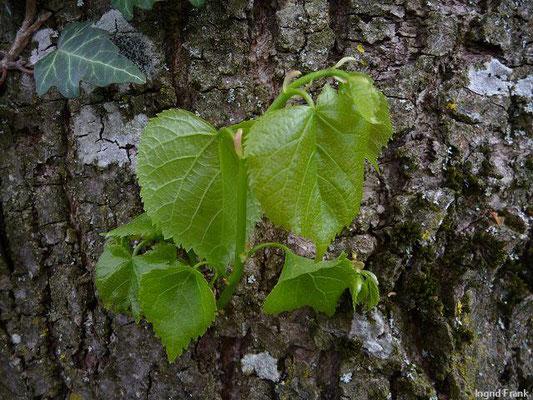 Tilia platyphyllos / Sommer-Linde