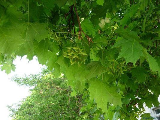 Acer platanoides - Spitz-Ahorn  (IV-V)