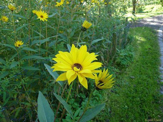 Helianthus pauciflorus / Steife Sonnenblume