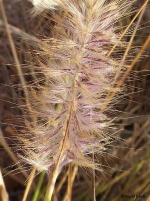 Pennisetum setaceum - Borstiges Federborstengras, Rabogato (Gran Canaria)