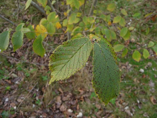 Sorbus aria - Mehlbeere