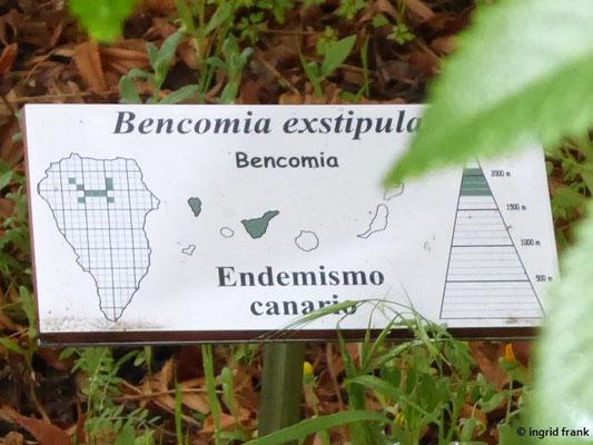Bencomia exstipulata - Nebenblattlose Bencomia