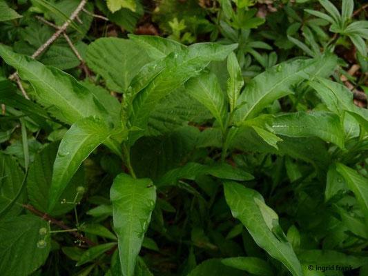 Persicaria hydropiper / Wasser-Pfeffer