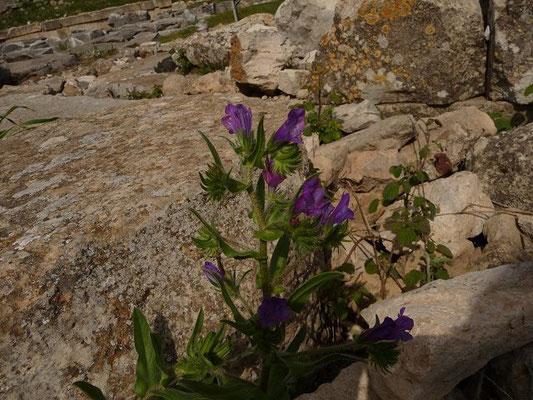 02.04.2013-Echium plantagineum