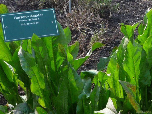 Garten-Ampfer, Englischer Spinat / Rumex patientia