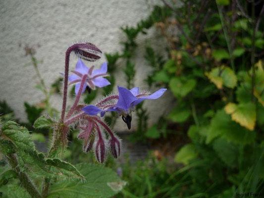 20.06.2011-Borago officinalis - Boretsch