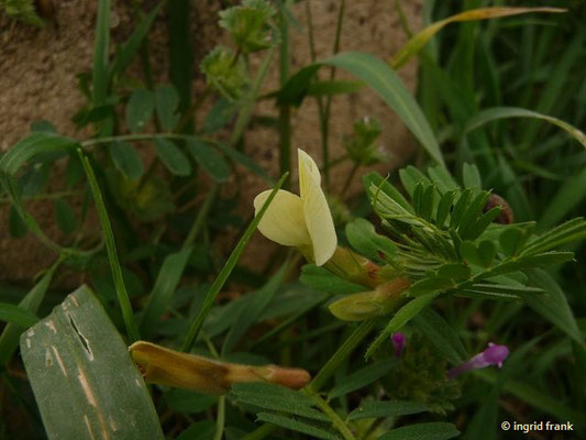 Vicia hybrida - Bastard-Wicke