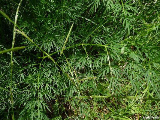 12.06.2011 - Sumpfwiese am Häcklerweiher