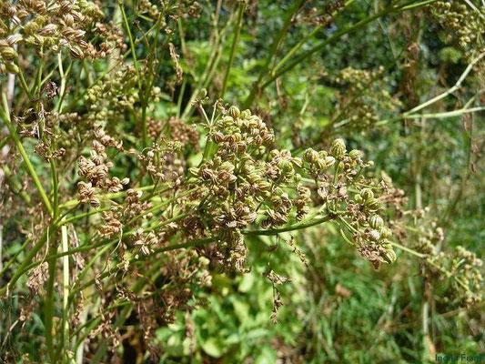 Coniium maculatum - Gefleckter Schierling