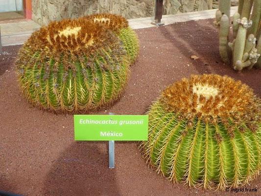 """Echinocactus grusonii - """"Goldkugelkaktus"""", """"Schwiegermutterstuhl"""""""