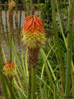 Kniphofia triangularis - Orangerote Fackellilie