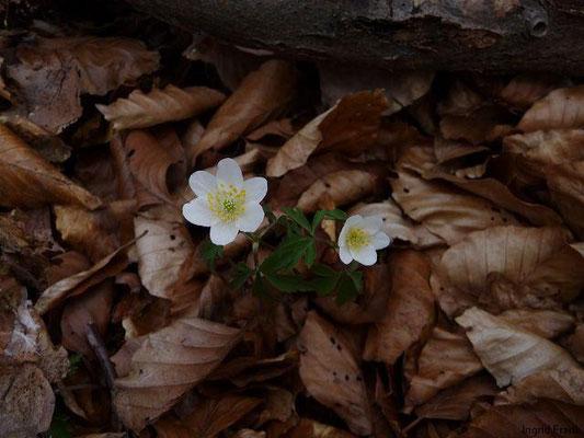 30.03.2011-Anemone nemorosa / Busch-Windröschen